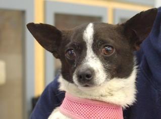 Chihuahua Dog For Adoption in Longview, WA