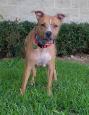 Boxer Mix Dog For Adoption in Houston, TX, USA