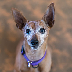 Miniature Pinscher Dog For Adoption in Kanab, UT
