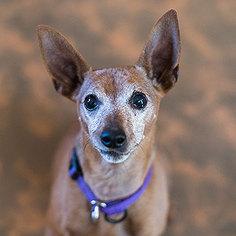 Miniature Pinscher Dog For Adoption in Kanab, UT