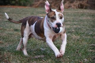 American Pit Bull Terrier Mix Dog For Adoption in Landenberg, PA