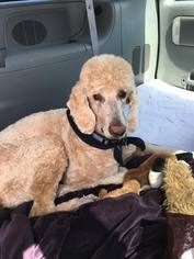 Poodle (Standard) Dog For Adoption in Pacolet, SC, USA