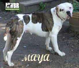 Bulldog Dog For Adoption in Woodinville, WA