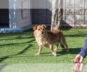 View Ad: Australian Terrier-Norfolk Terrier Mix Dog for ...