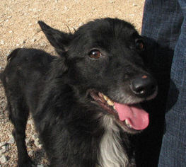 Tibetan Terrier Dog For Adoption in Alton, IL