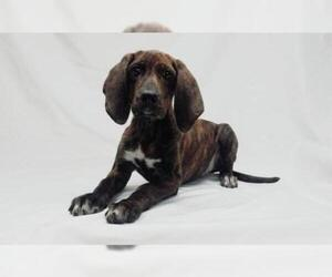 Small Coonhound Mix