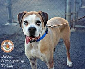 Boxer Dog For Adoption in Oceanside, CA, USA