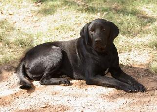 Labrador Retriever Mix Dog For Adoption in Waldron, AR, USA