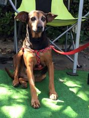 Mutt Dog For Adoption in Oceanside, CA, USA