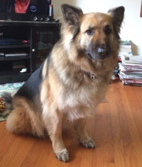German Shepherd Dog Dog For Adoption in Baltimore, MD, USA