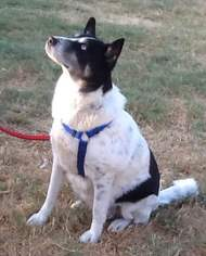 Husky Mix Dog For Adoption in Dallas, TX, USA