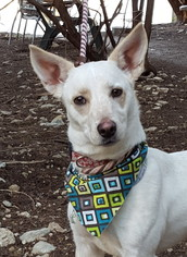 Cardigan Welsh Corgi Mix Dog For Adoption in Lago Vista, TX, USA