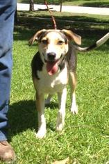 Beagle Mix Dog For Adoption in Slidell, LA