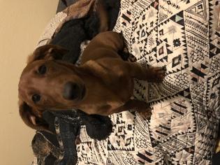 Dachshund Dog For Adoption in Tulsa, OK, USA