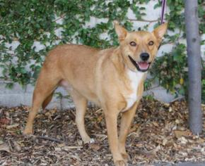 Basenji-German Shepherd Dog Mix Dog For Adoption in Palo Alto, CA