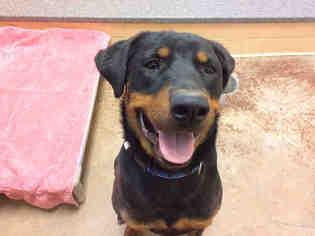 View Ad Rottweiler Mix Dog For Adoption New Mexico Santa Fe Usa