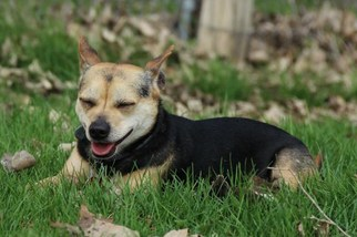 Chihuahua Mix Dog For Adoption in Eldora, IA, USA