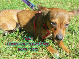 Rat Terrier Mix Dog For Adoption in Huddleston, VA, USA
