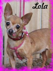 Chihuahua Dog For Adoption in Anaheim Hills, CA