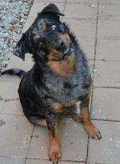 View Ad Australian Shepherd Rottweiler Mix Dog For Adoption