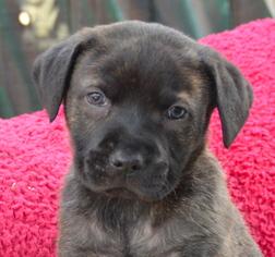 View Ad French Bulldog Pomeranian Mix Dog For Adoption Near