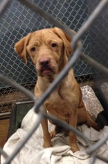 Bloodhound-Chinese Shar-Pei Mix Dog For Adoption in Slidell, LA