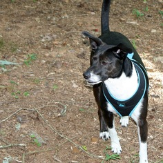 Gallery of Photos for Ad RGADN-321375: Rat Terrier-Whippet ...