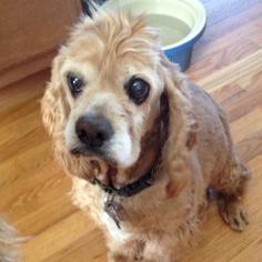 Cocker Spaniel Dog For Adoption in Parker, CO