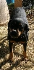 American Bulldog-Rottweiler Mix Dog For Adoption in Rayville, LA, USA
