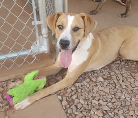View Ad Boxer Golden Retriever Mix Dog For Adoption Near Oklahoma