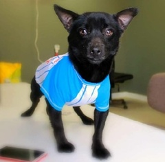 Chihuahua Mix Dog For Adoption in Slidell, LA, USA