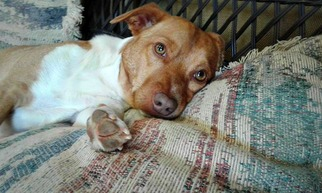 Beagle Mix Dog For Adoption in Pacolet, SC, USA