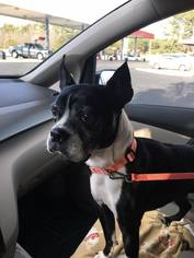 View Ad Boston Terrier Dog For Adoption Near North