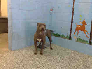 American Pit Bull Terrier Dog For Adoption in San Bernardino, CA