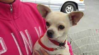 Chug Dog For Adoption in Napa, CA