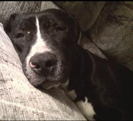 American Pit Bull Terrier Dog For Adoption in Rockaway, NJ