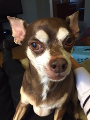 Chihuahua Dog For Adoption in O Fallon, MO, USA