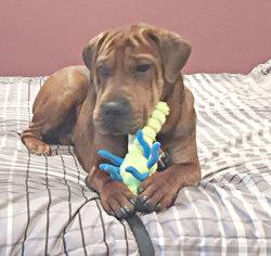 Beagle Dog For Adoption in Spring Lake, NJ, USA