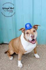 American Pit Bull Terrier Dog For Adoption in Kansas City, MO, USA
