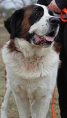 Saint Bernard Dog For Adoption in Von Ormy, TX, USA