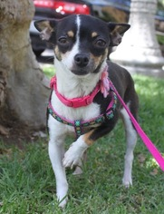 Rat-Cha Dog For Adoption in Los Angeles, CA, USA
