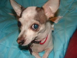 Chihuahua Mix Dog For Adoption in Marathon, RI