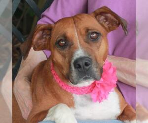 Bogle Dogs for adoption in Garfield Heights, OH, USA