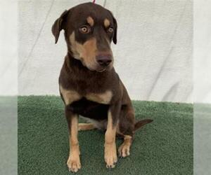 Doberman Pinscher Dogs for adoption in Visalia, CA, USA