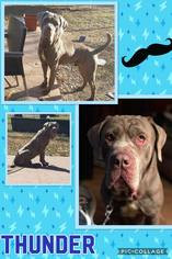 Neapolitan Mastiff Dog For Adoption near 63026, Fenton, MO, USA