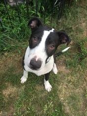 Borador Dog For Adoption in Tomball, TX, USA
