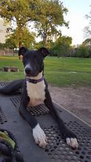 Greyhound Mix Dog For Adoption in Katy, TX