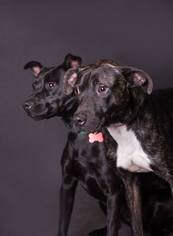 American Pit Bull Terrier Mix Dog For Adoption in Foristell, MO, USA