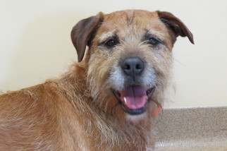 Border Terrier Dog For Adoption in Santa Monica, CA
