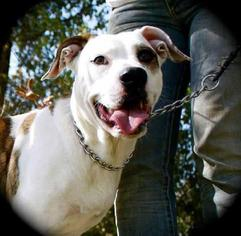 Boxer Mix Dog For Adoption in Nashville, TN, USA